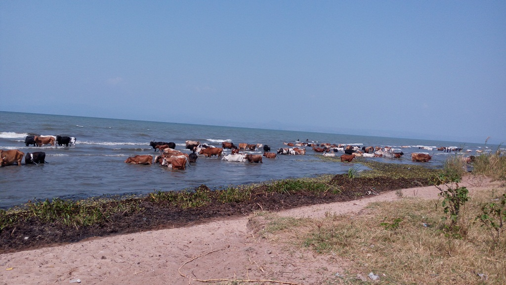 After drinking water,these cows rest in the buffer zone causing siltation